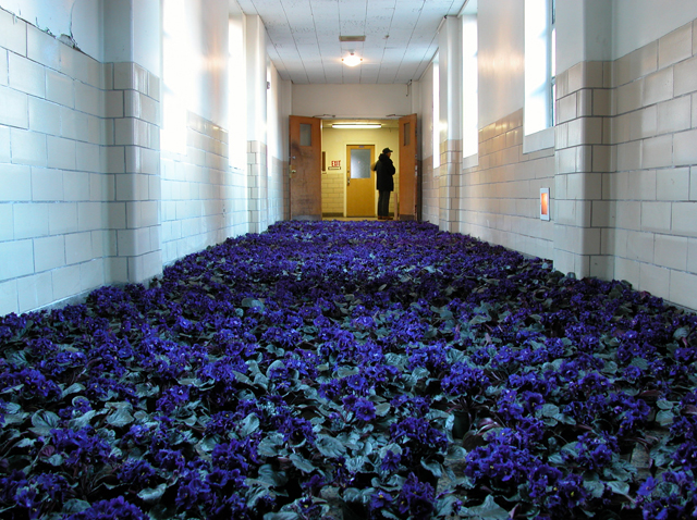 Anna Schuleit BLOOM The connecting hallway between the historic part of MMHC and the research annex was covered in blue African Violets photo John Gray